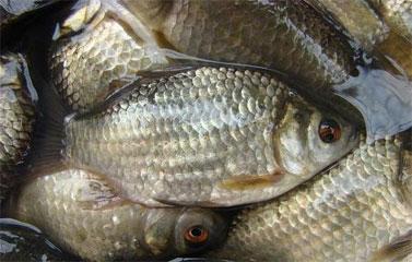 Cá diếc món cá tốt cho cả quý ông lẫn quý bà