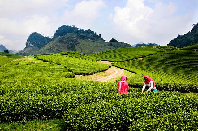 Người dân Mộc Châu thu hoạch chè