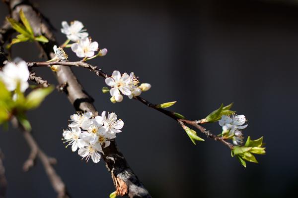 Cành hoa mận lung linh trong nắng xuân