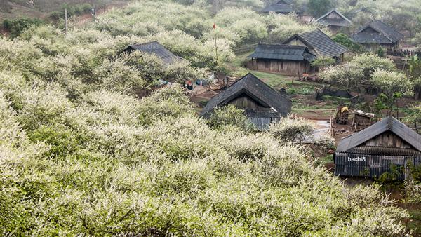Cây mận mọc thành từng cánh rừng