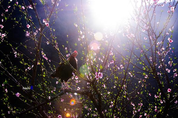Hoa đào khoe sắc dưới nắng xuân