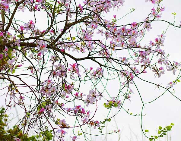Thời điểm lý tưởng để ngắm hoa ở Mộc Châu