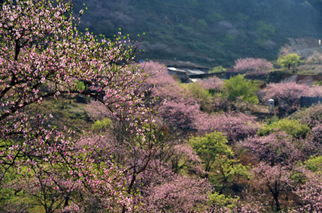Rừng hoa đào ở Sapa